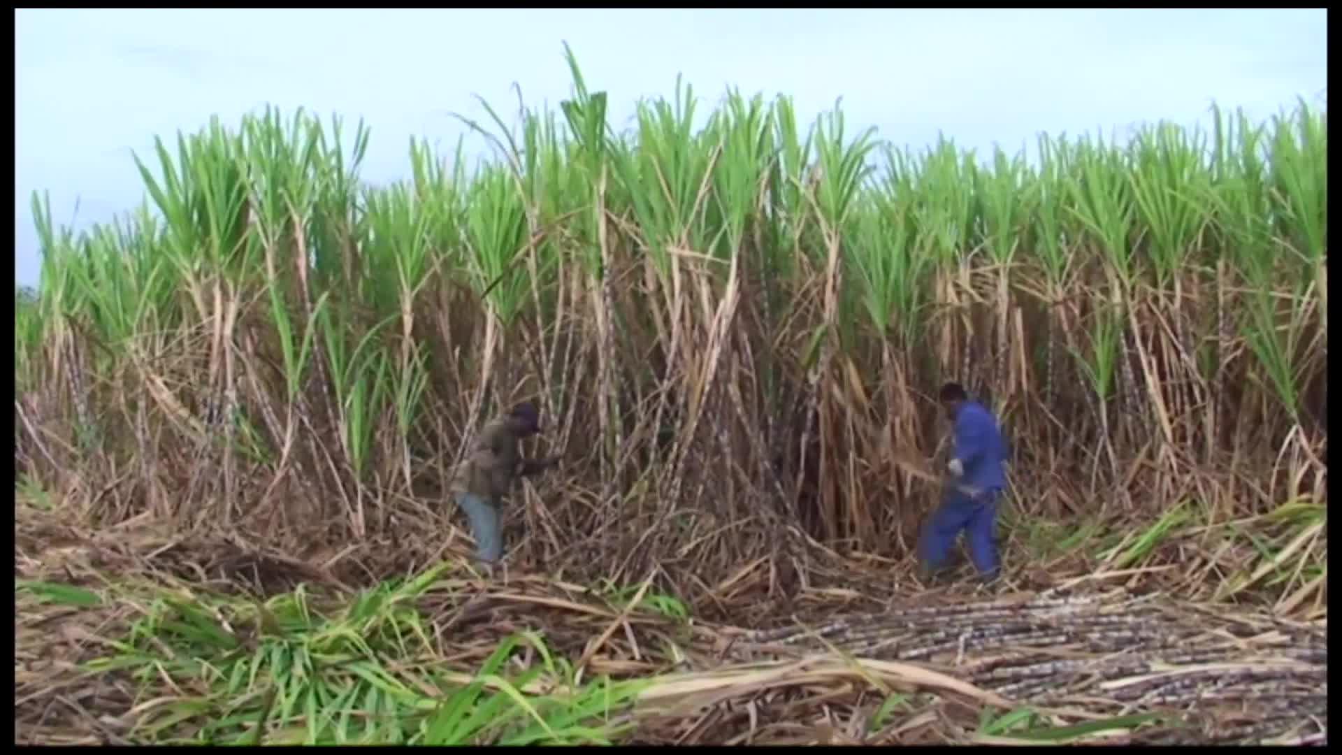 Début de la campagne sucrière 2020 à Marie Galante